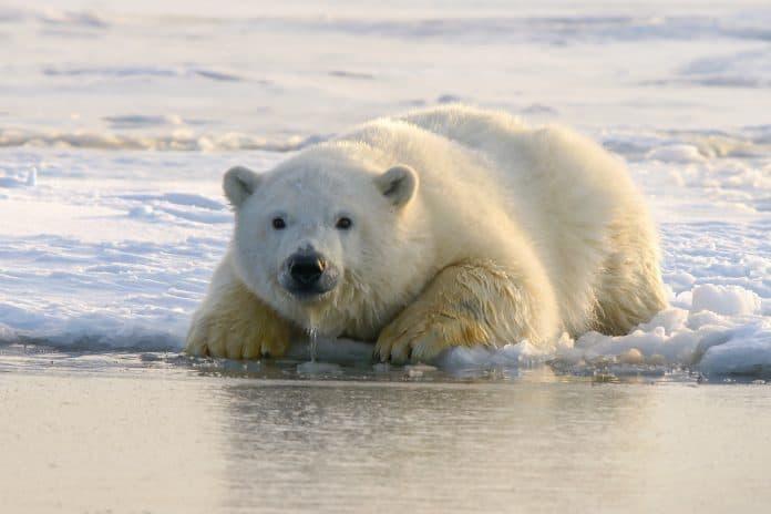 Polar bear, photo: Hans-Jurgen Mager on Unsplash