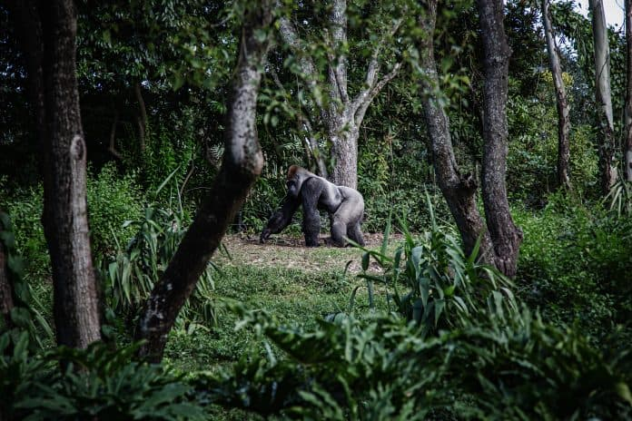 Cameroon cancels logging plan that threatened rare gorillas and chimpanzees, photo: Mike Arney/Unsplash