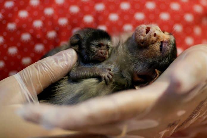Tiny monkey Xita and her baby, photo: Reuters/Ueslei Marcelino