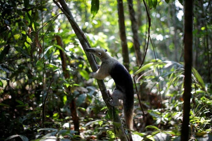 A recovered anteater is released in Amazon forest, Brazil, photo: Reuters/Ueslei Marcelino
