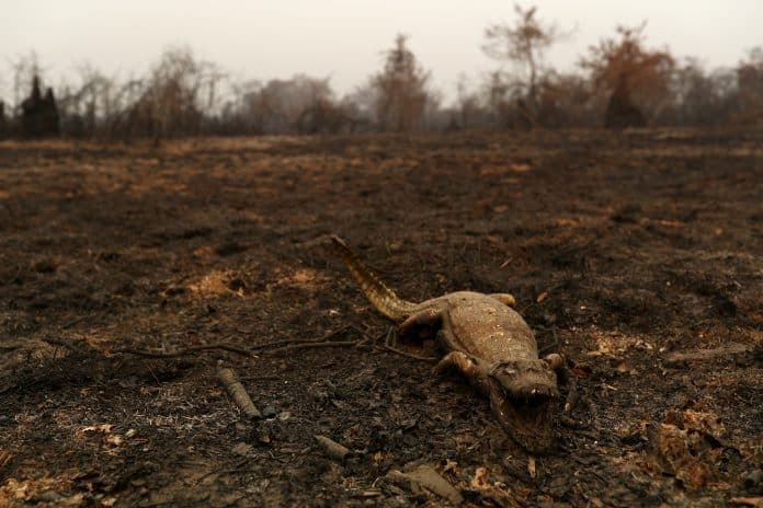 A dead caiman burnt in the fires in the Pantanal, Mato Grosso state, Brazil, August 31, 2020. Reuters/Amanda Perobelli