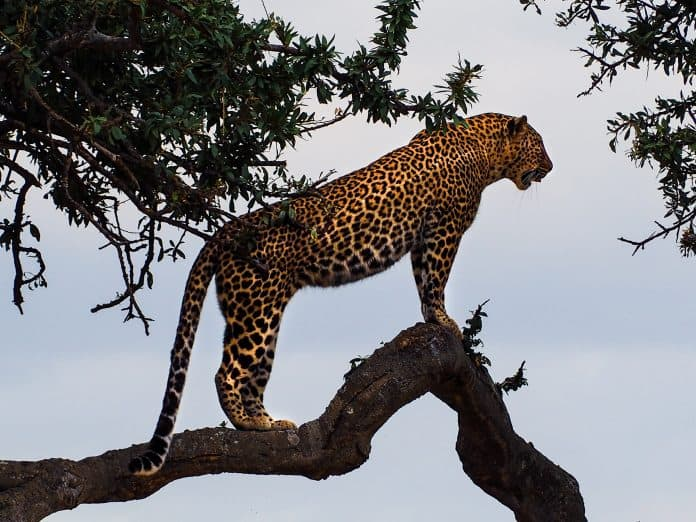 Jaguar in a tree, photo: Bibake Uppal on Unsplash
