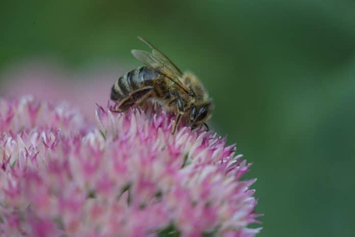 Bee on flower, photo: Ilana Grostern on Unsplash