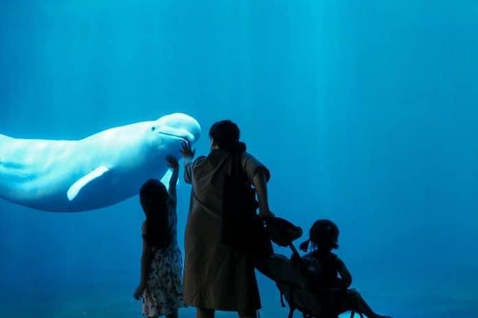 Beluga whale stuck in an aquarium, photo: Insung yoon on Unsplash