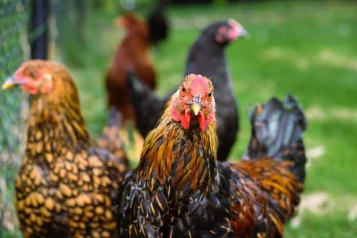 Chickens, photo: Jordan Whitt on Unsplash