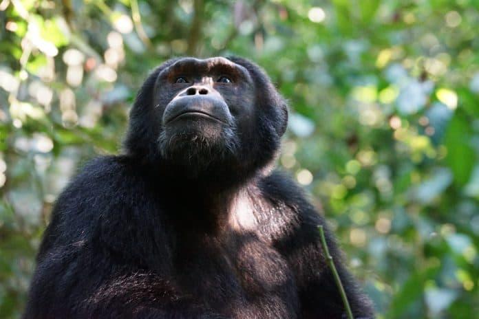 Ape, photo: Julie RicardonUnsplash