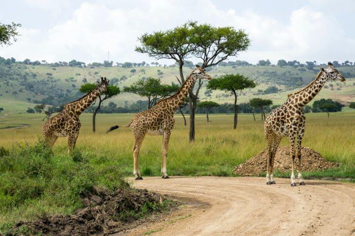 Giraffes, photo: Julie Wolpers on Unsplash