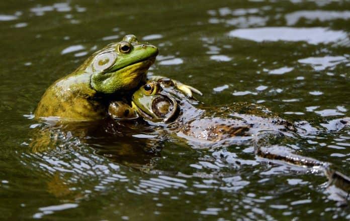 Bullfrogs wrestling for territory, photo: Ken GouldingonUnsplash