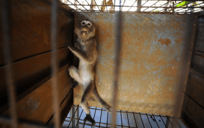 Monkey bred for research, photo: Jo-Anne McArthur / We Animals