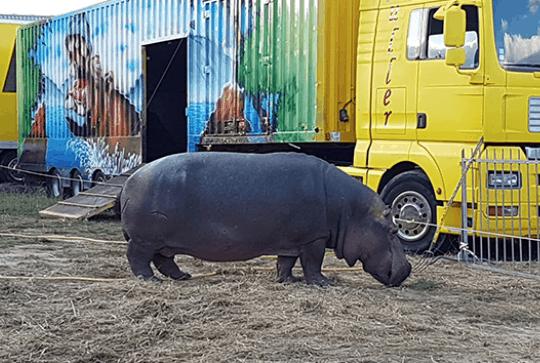 Jumbo the hippo, photo: One Voice