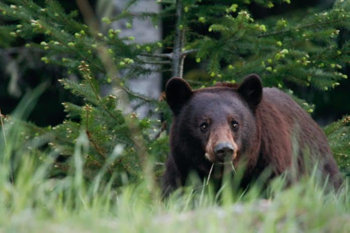 Black bear, photo: Geoff Brooks on Unsplash