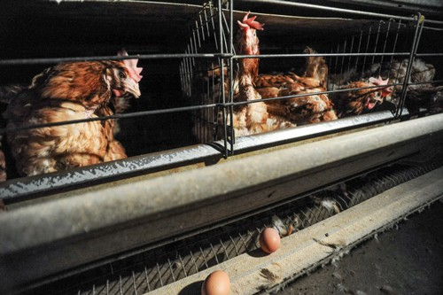 Egg-laying hens with extreme feather loss, Spain, photo: Jo-Anne McArthur / Animal Equality