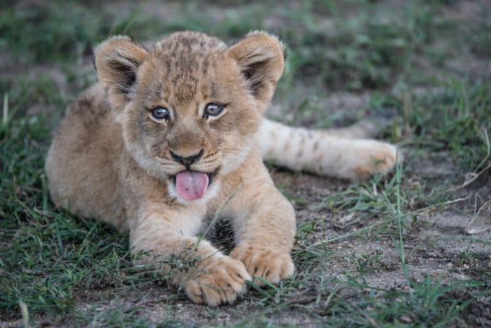 Lion cub, photo: Jeff Rodgers on Unsplash