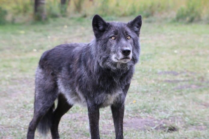 Canadian wolf, photo by Lian Tomtit on Unsplash