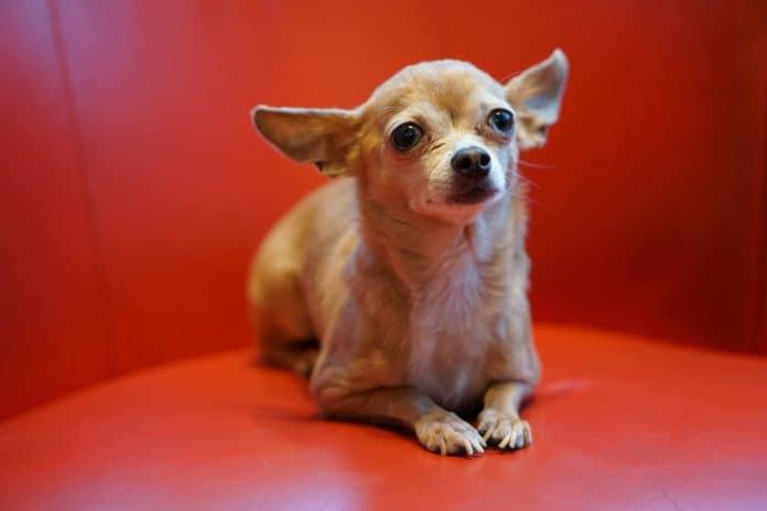 Chihuahua, photo: Robina Weermeijer on Unsplash
