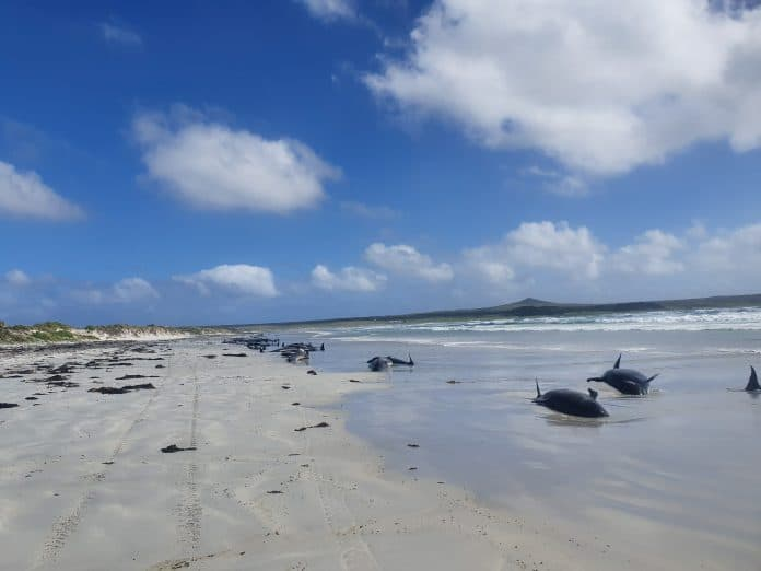 Pilot whales stranded on the beach in Chatham Islands, New Zealand photo: Reuters/Jemma Welch /Department of Conservation NZ
