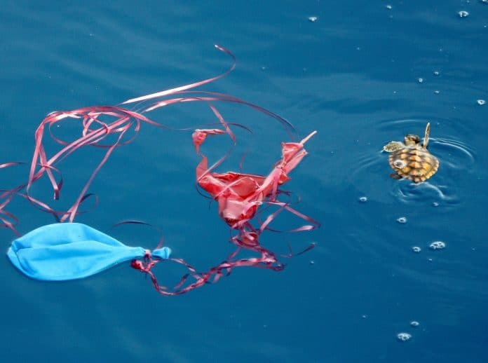 A baby sea turtle and balloon, photo: Dr. Blair Witherington / Florida Fish and Wildlife Conservation Commission