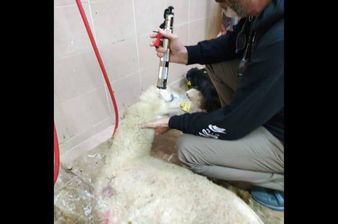 Man stuns a sheep, photo: Eyes on Animals