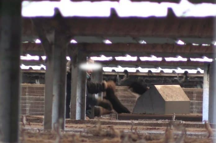 Workers throw mink in gas cart, photo: still video Animal Rights