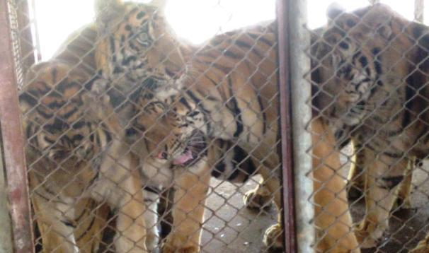 Investigation into Tiger Mafia, photo: Karl Ammann / Wild Animal Department