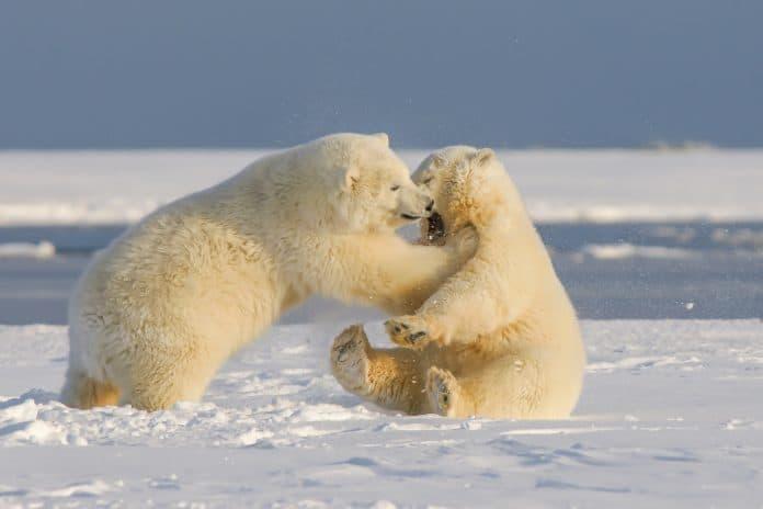 Young polar bears, Alaska, photo: Hans-Jurgen Mager on Unsplash