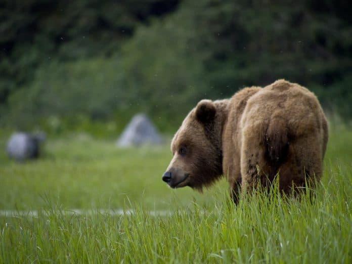 Brown bear, photo: NOAA on Unsplash