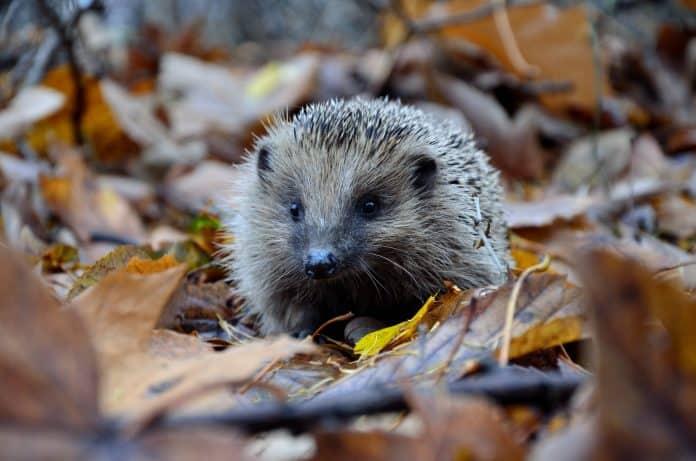 Hedgehog, photo: Piotr Laskawski via Unsplash