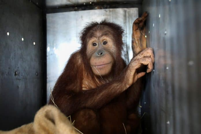A Sumatran orangutan on his way to Indonesia, photo: Reuters/Soe Zeya Tun