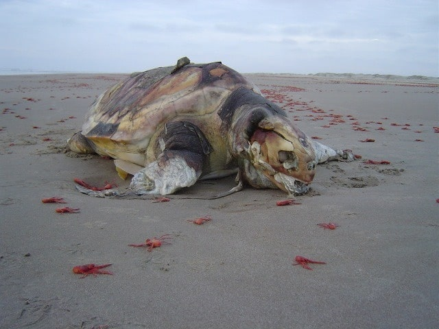 A dead loggerhead sea turtle on the beach of Baja California Sur, Mexico, photo: Center for Biological Diversity / Reuters