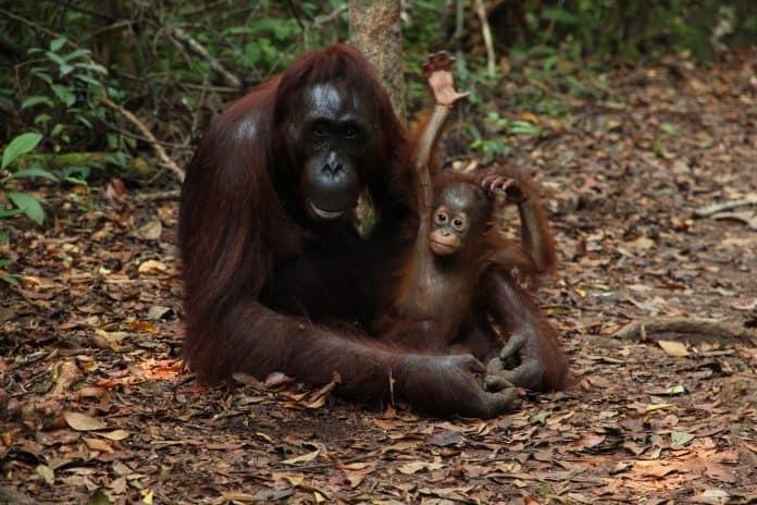Orangutan mother with baby, photo: Fabrizio Frigeni on Unsplash