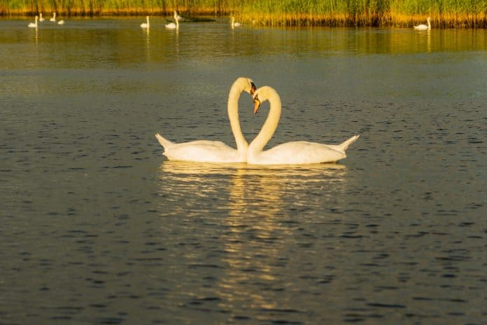 Two swans, photo: Nick Fewings on Unsplash