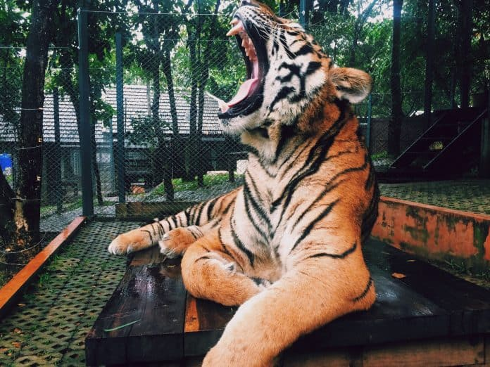 Tiger held in captivity, photo: Paula Borowska on Unsplash