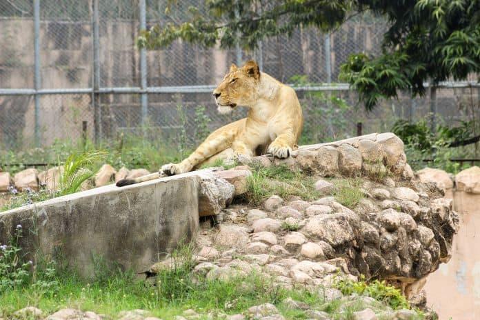 Lion at zoo, photo: Sameer Mohsin on Unsplash