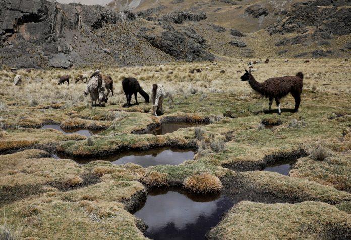 Llamas in a wetland in Tuni, near La Paz, Bolivia, photo: Reuters / David Mercado