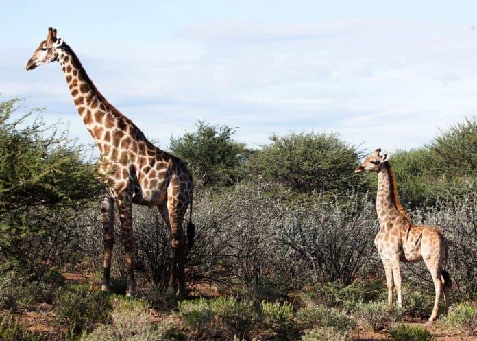 A dwarf giraffe named Nigel in Namibia, photo: Emma Wells/Giraffe Conservation Foundation/Reuters