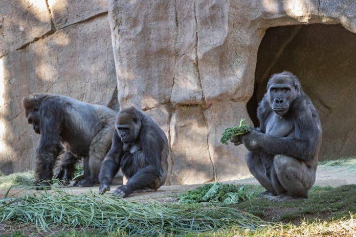 Three gorillas at San Diego Zoo Safari Park, photo: Ken Bohn/San Diego Zoo Global/Reuters