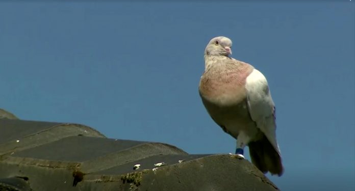 Joe the pigeon on the roof of a house in Melbourne, Australia, photo: Nine Network/Reuters