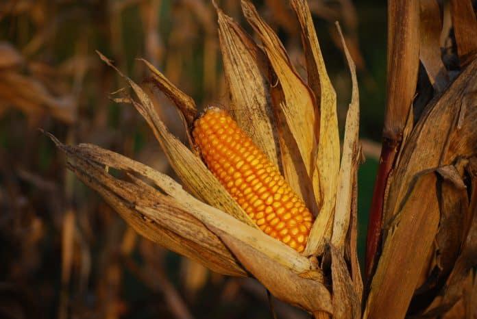 Corn, photo: Christophe Maertens on Unsplash