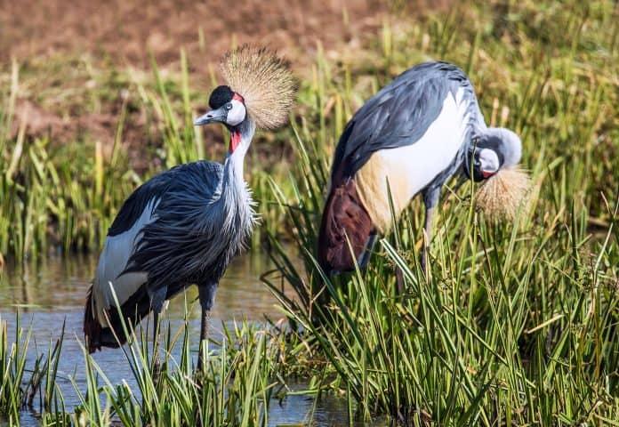 Grey crowned cranes, photo by: David Clode on Unsplash