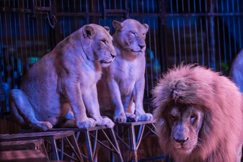 Lions forced to perform in a French circus, photo: Jo-Anne McArthur / One Voice