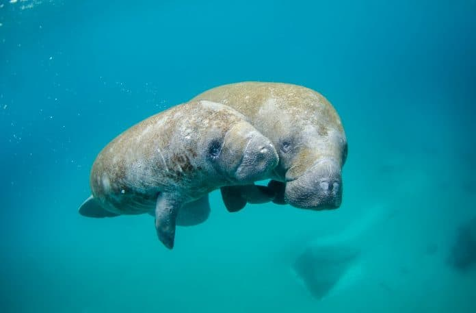 Mother manatee swimming with calf, photo by NOAA on Unsplash