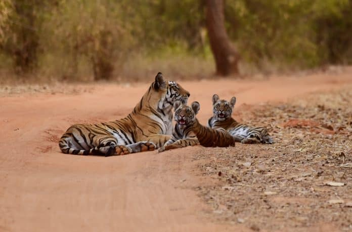 Tiger lies on a sand road with her babies next to her
