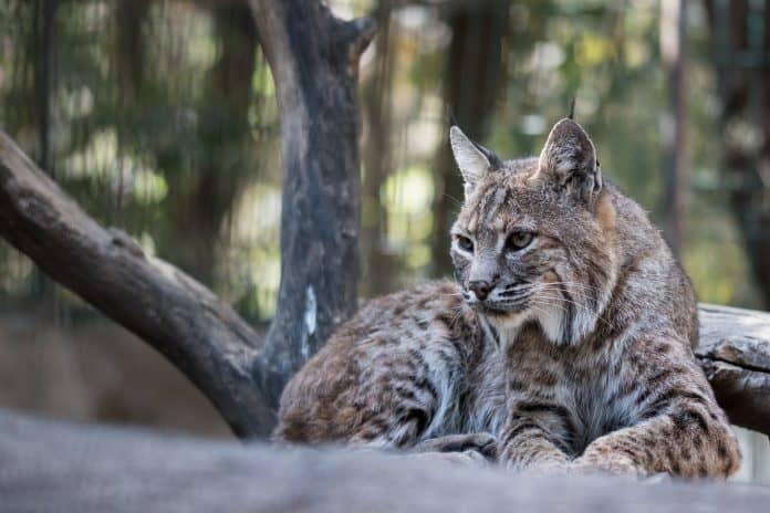 Lynx, photo: Uriel Soberanes on Unsplash
