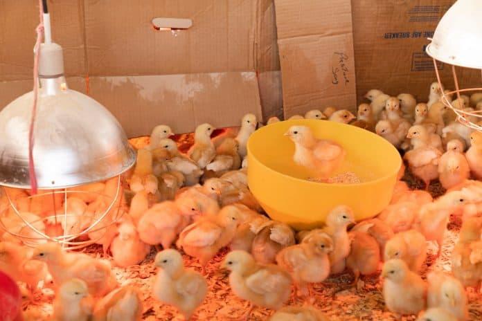 Baby chickens, photo byZoe SchaefferonUnsplash
