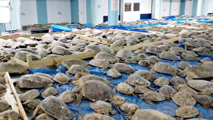 Frozen turtles rescued in Texas, credit: Ed Caum/City Of South Padre Island Convention And Visitors Bureau/Reuters