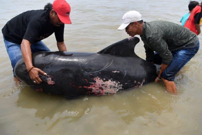 Locals try to lift a pilot whale in Indonesia. photo: Antara Foto/Zabur Karuru/ via Reuters