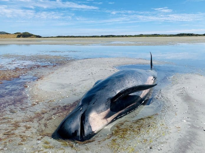 A beached whale at Farewell Spit in New Zealand