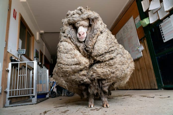 Sheep Baarack before his thick wool was shorn, photo: Edgar's Mission Inc/Reuters