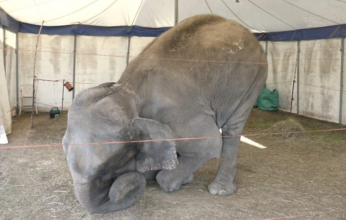 Elephant Dumba is suffering, credit: One Voice