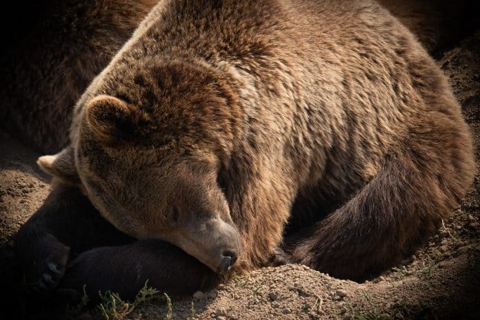 Brown bear, photo: Jie Wang on Unsplash